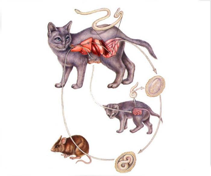 Симптомы и лечение токсоплазмоза у кошек: передаётся ли человеку?