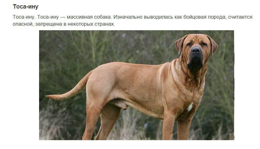 Самые опасные собаки в мире: список пород с описаниями и фотографиями