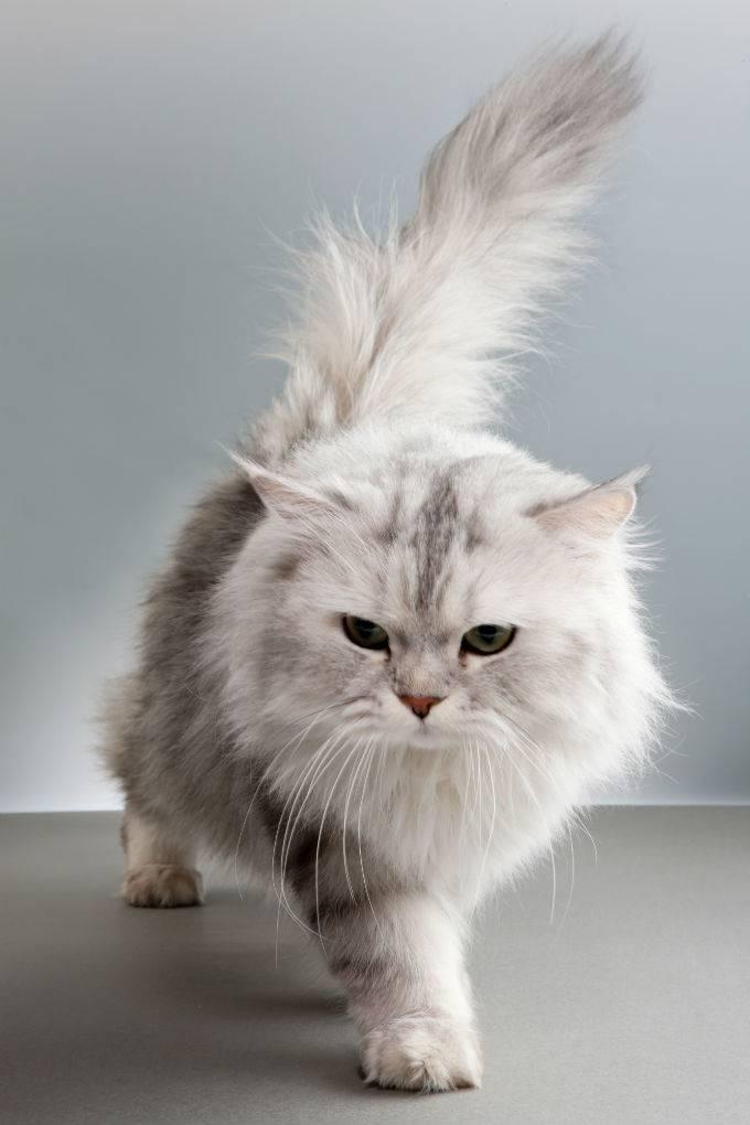 Кошка породы персидская шиншилла: внешность, характер, содержание