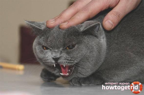 Агрессия у кошек: возможные причины и что делать в этой ситуации?