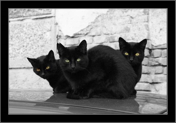 Откуда пошли все суеверия про черных котов и правдивы ли они - gafki.ru