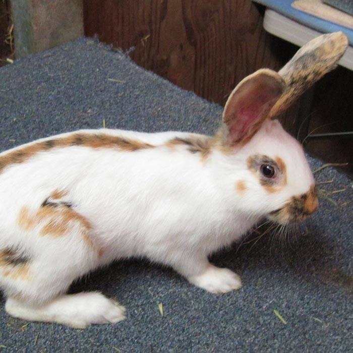 Кролик бабочка: описание породы и фото