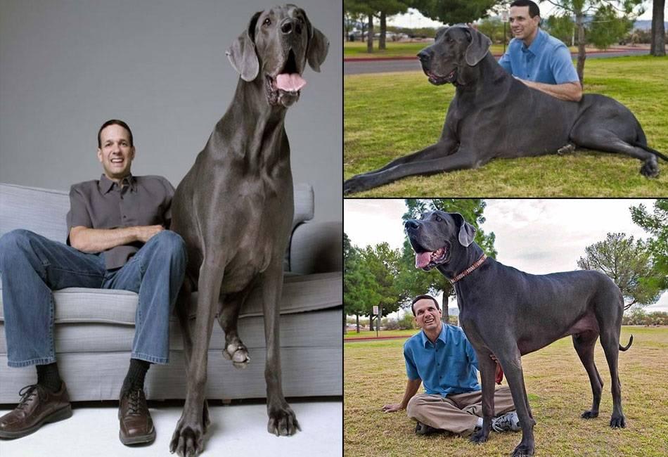 Самая большая собака в мире (фото): зевс и его «коллеги»