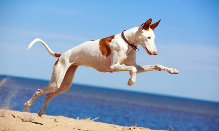 Описание породы собак поденко ибиценко (ивисская собака) с отзывами и фото
