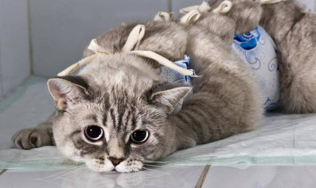 Подготовка кошки к стерилизации и послеоперационный уход - как ухаживать за кошкой и нее швом после стерилизации - всё о кошках и котах