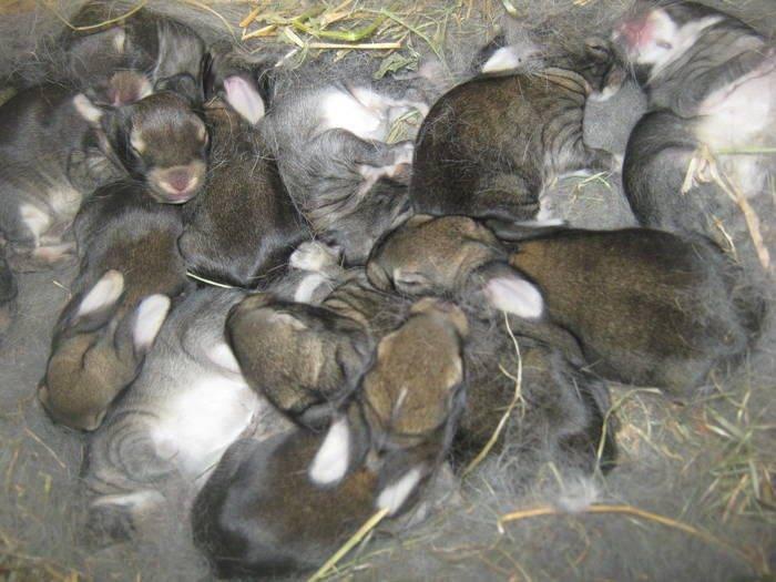 Сколько длится беременность у кроликов: признаки, сроки