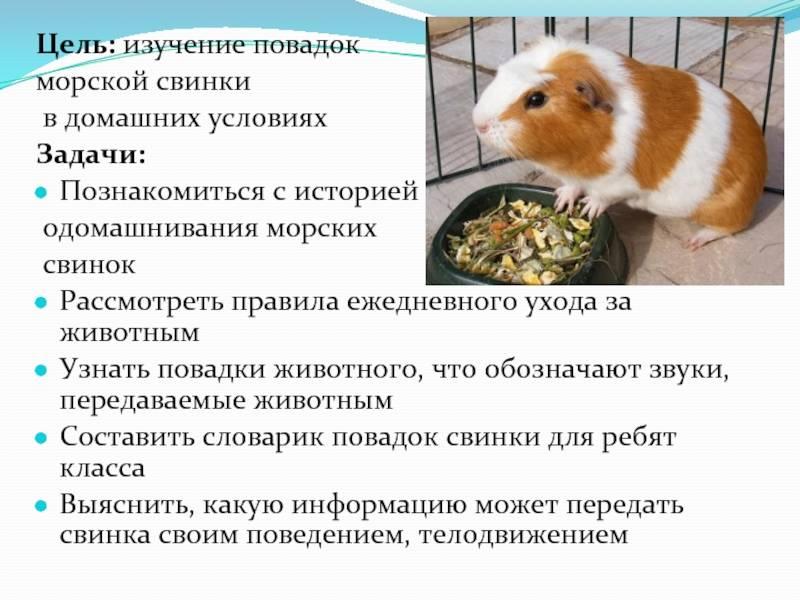 Как ухаживать за морской свинкой: правила ухода и советы для начинающих