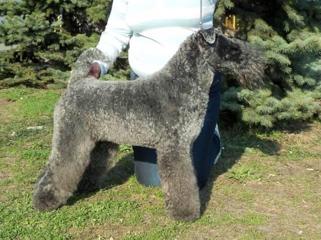 Керри блю терьер собака. описание, особенности, уход и цена керри блю терьера   животный мир