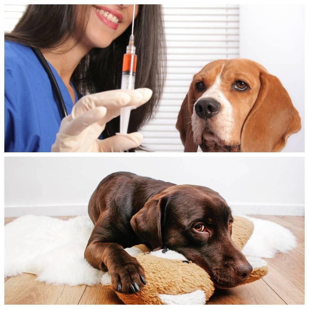 Собака кашляет как-будто подавилась, пытается что-то отрыгнуть - симптомы болезней и помощь