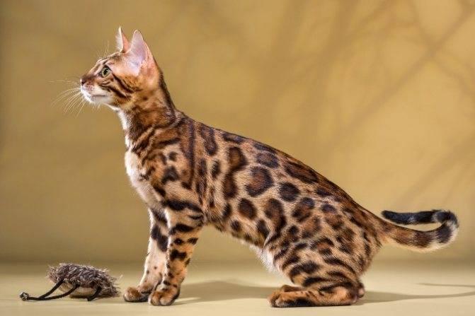 Бенгальская кошка: фото, описание и особенности ухода за породой