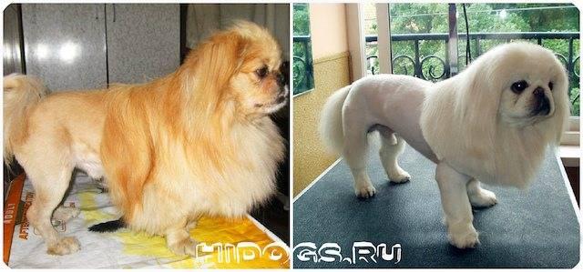 Стрижка пекинеса: как подстричь собаку самостоятельно в домашних условиях (фото и видео)