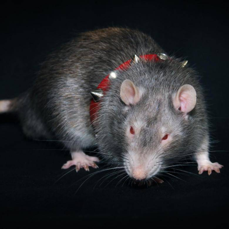 Декоративные крысы - какую породу выбрать?