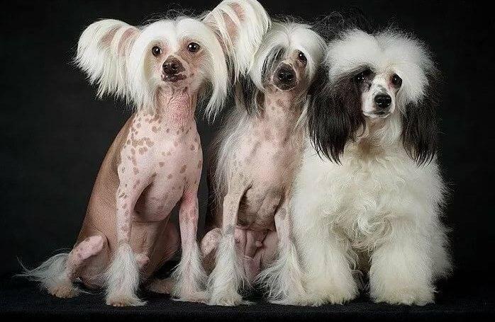 Внешность и характер китайских хохлатых собак: кормление и уход за пуховками