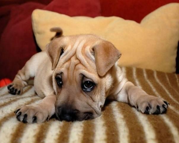 Почему щенок или взрослая собака воет и скулит без причины, ночью или когда остается дома одна, что делать?