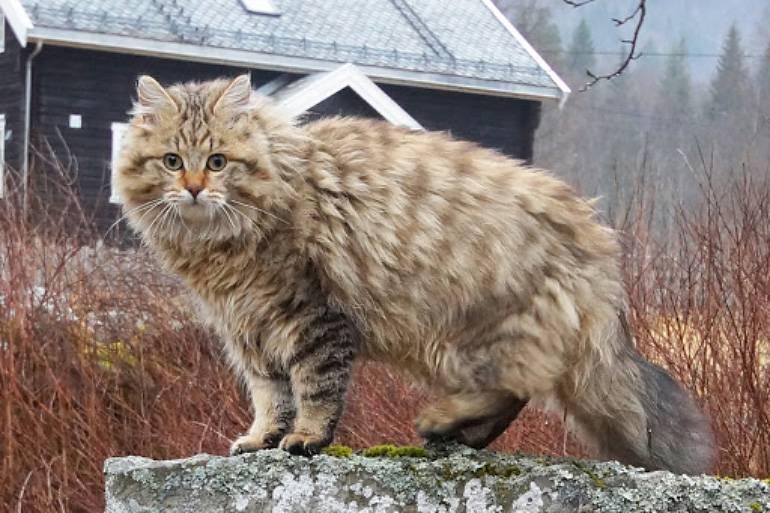 Норвежская лесная кошка: фото, описание породы, характер, цены