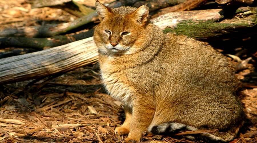 Камышовый кот  фото, видео, описание породы хаус, цена