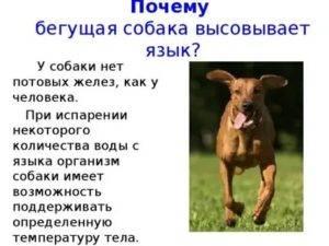 Почему собака высовывает язык: нормально ли это?