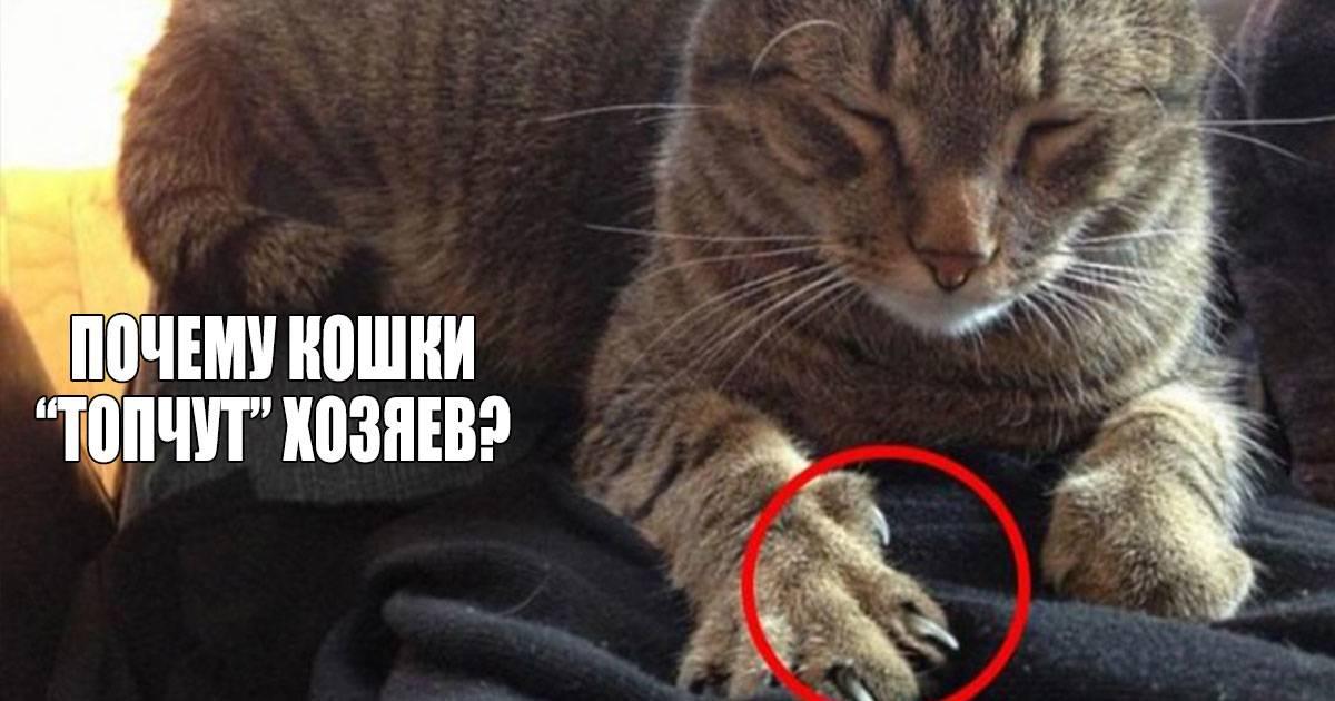 Почему кошки топчут нас лапками: мнение ученых и народная молва о том, почему кот может топтаться на хозяине