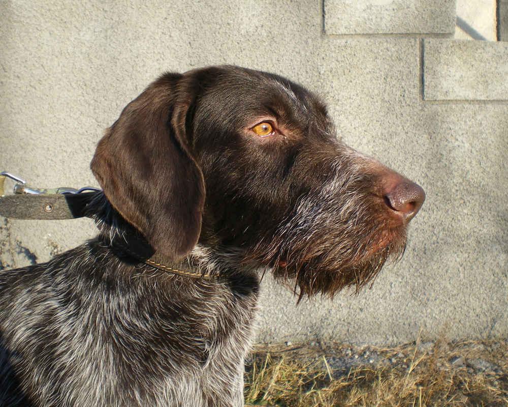 Описание породы дратхаар: характеристики собаки, размеры и вес охотничьегопса