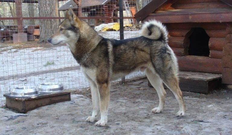 Западносибирская лайка: фото и характер собаки, уход, содержание