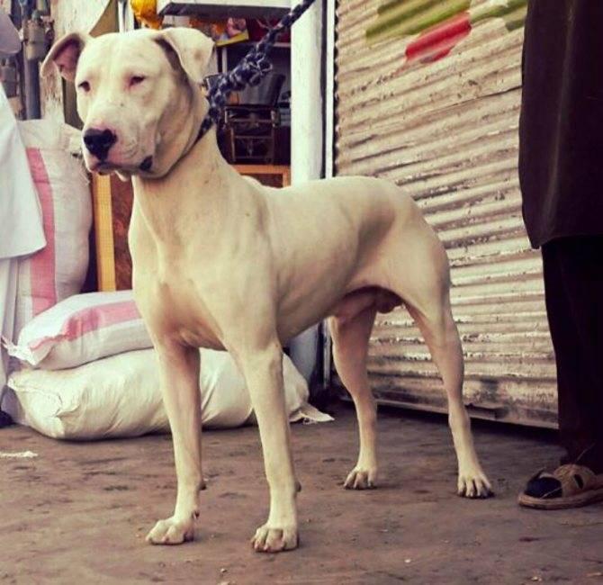 Булли кутта (пакистанский мастиф) — фото, описание породы собак, особенности