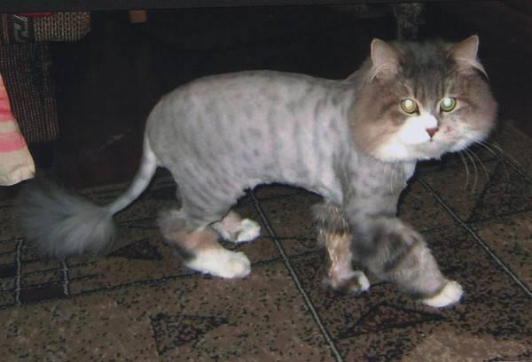 Почему у кошек свисает живот. курдюк у кота: нормы и признаки патологии. почему у кота толстый живот
