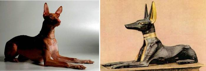 Фараоновая собака или фарао хаунд