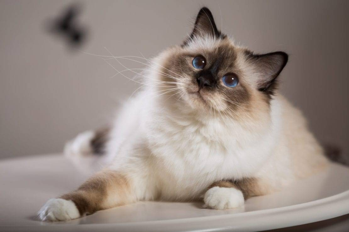 Бирманская кошка: описание породы