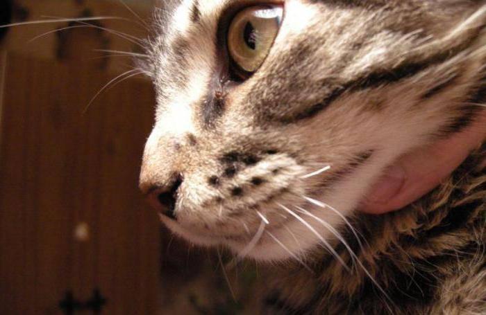 Отрастают ли усы у котов?