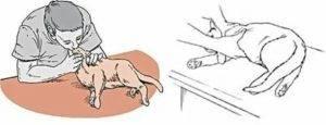 Кот хрипит когда мурлыкает. кот хрипит когда дышит - строение тела