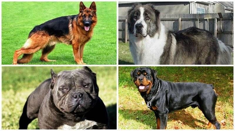 Самые опасные собаки: породы, которые требуют большой ответственности