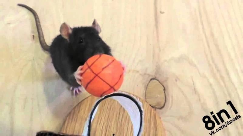 Как ухаживать за декоративными крысами — шпаргалка для хозяина