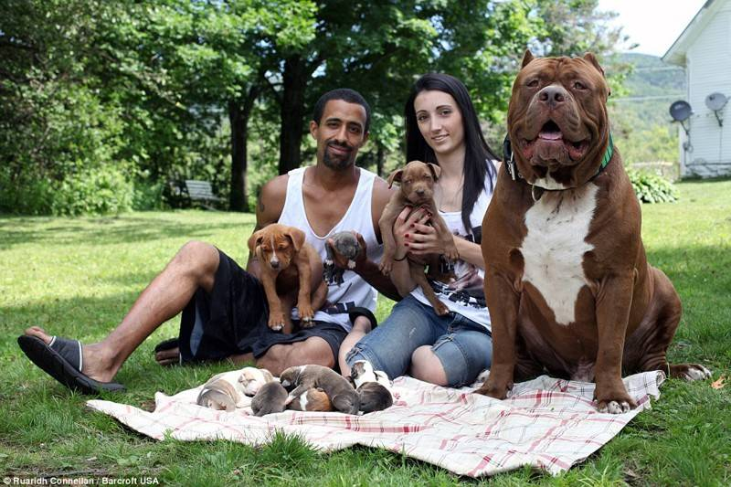 """Питбуль халк — самый большой питбультерьер в мире, интересные факты о собаке-гиганте, фото. """"купили хомячка"""": самый большой в мире питбуль халк его владельцы считают, что чем больше собака, тем лучше"""