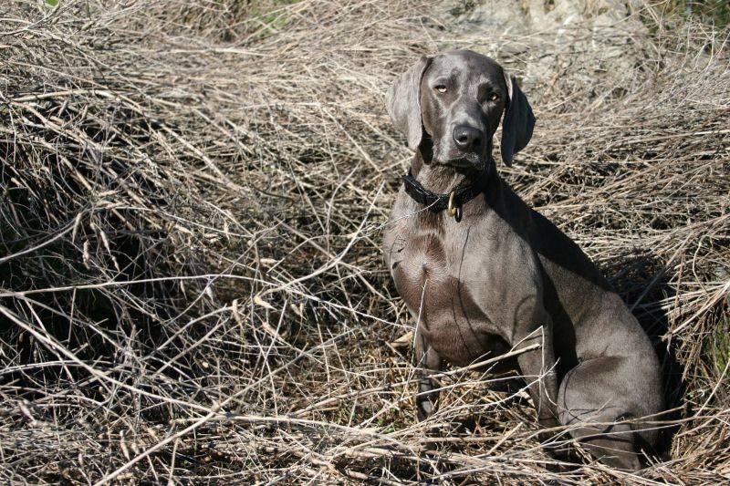 Веймаранер: описание породы, характер и размеры собак