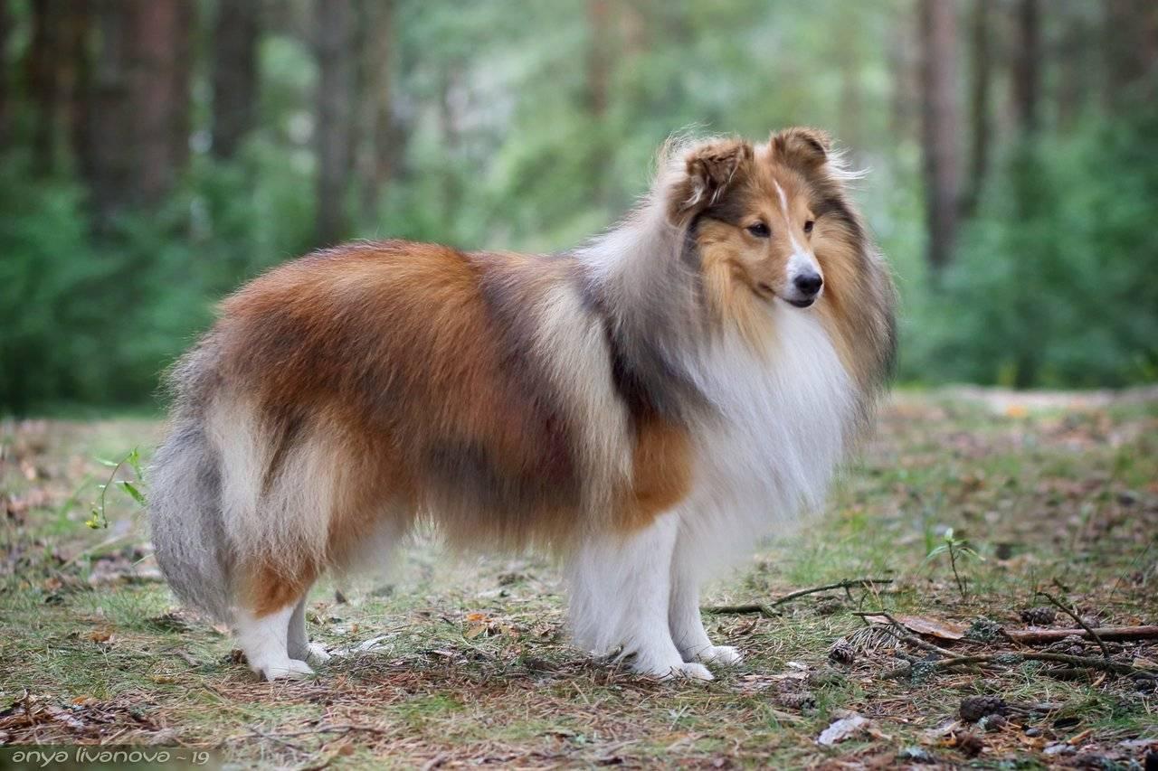 Шелти собака. описание, особенности, уход и цена породы шелти | животный мир
