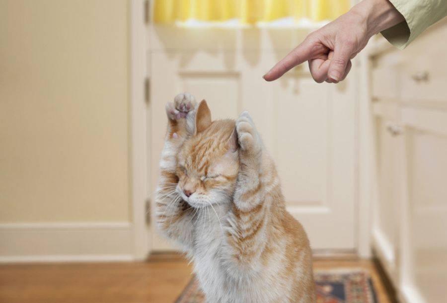 Воспитание котенка, как правильно воспитать умного кота, как воспитывать котенка