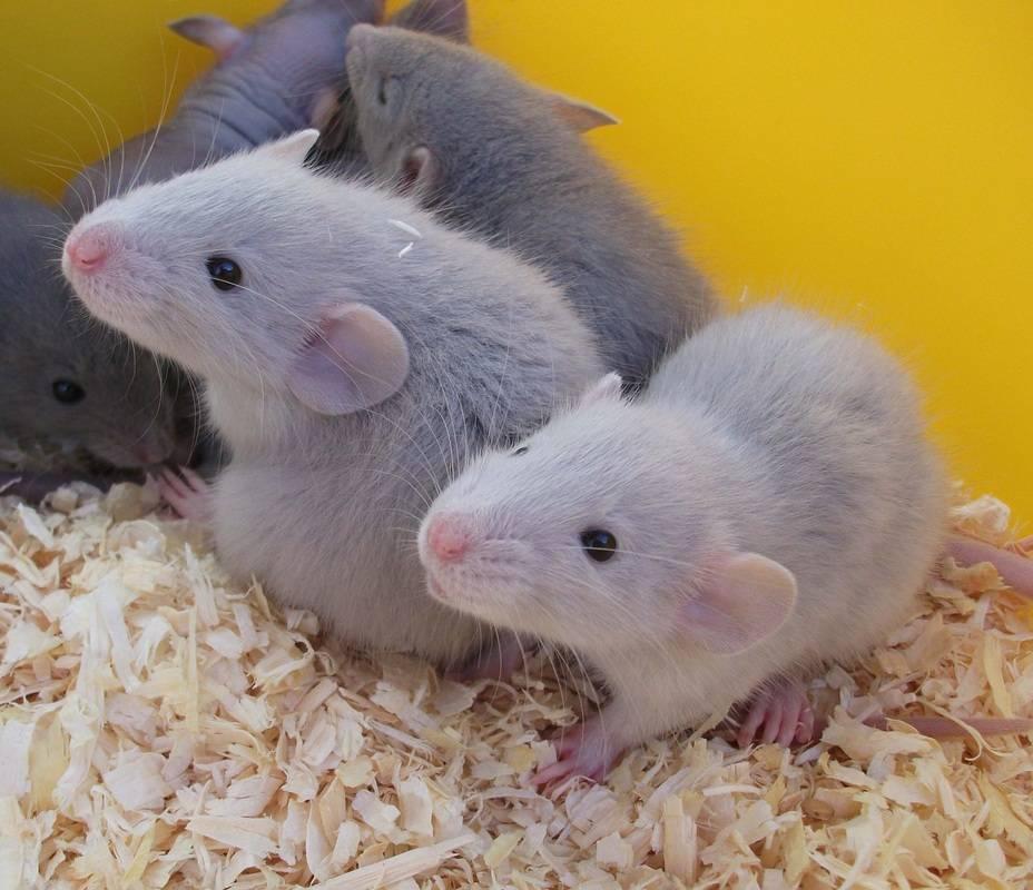 Размер и вес маленькой и взрослой крысы - до какого максимального размера может вырасти