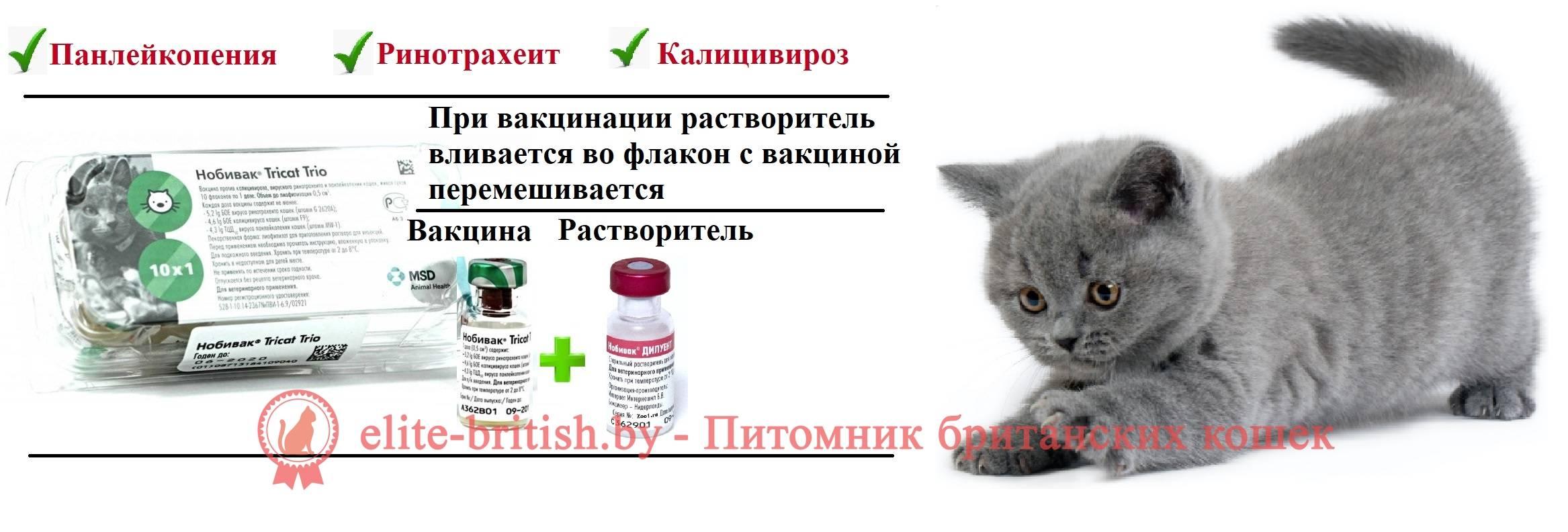 Когда нужно делать прививки котятам. особенности и нюансы вакцинации