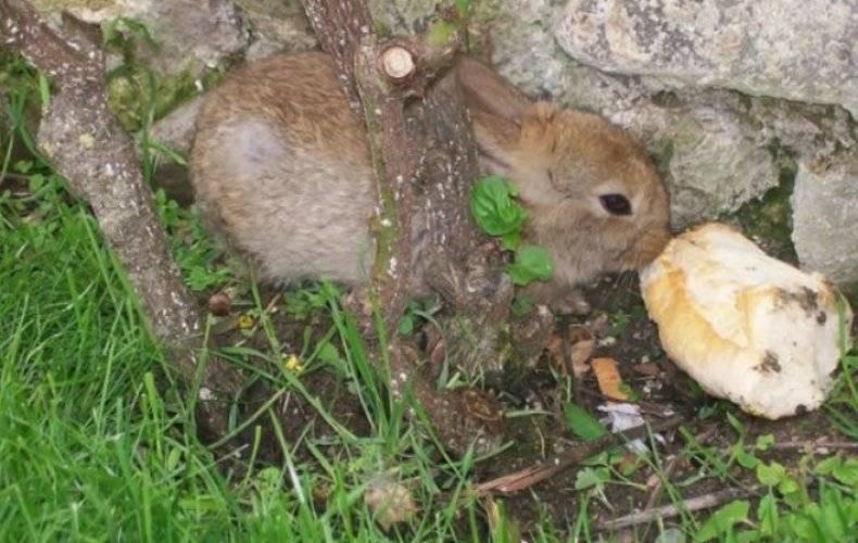 Разрешается ли кормление кроликов хлебом или сухарями: польза и вред