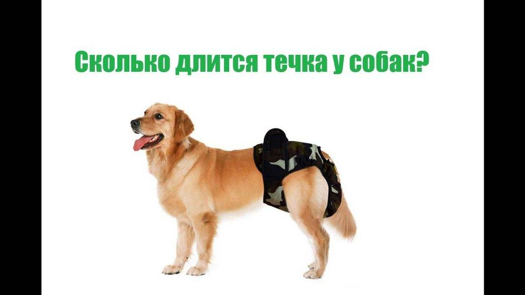 Как проходит течка у собак крупных и мелких пород