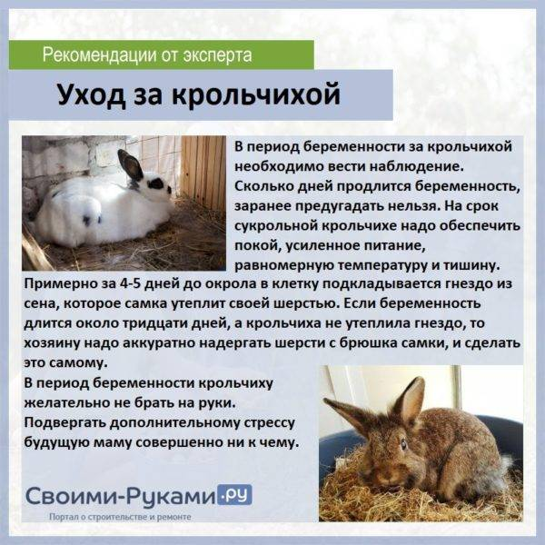 Сколько кролики ходят беременные? сколько дней длится беременность? от чего зависит длительность вынашивания крольчат?