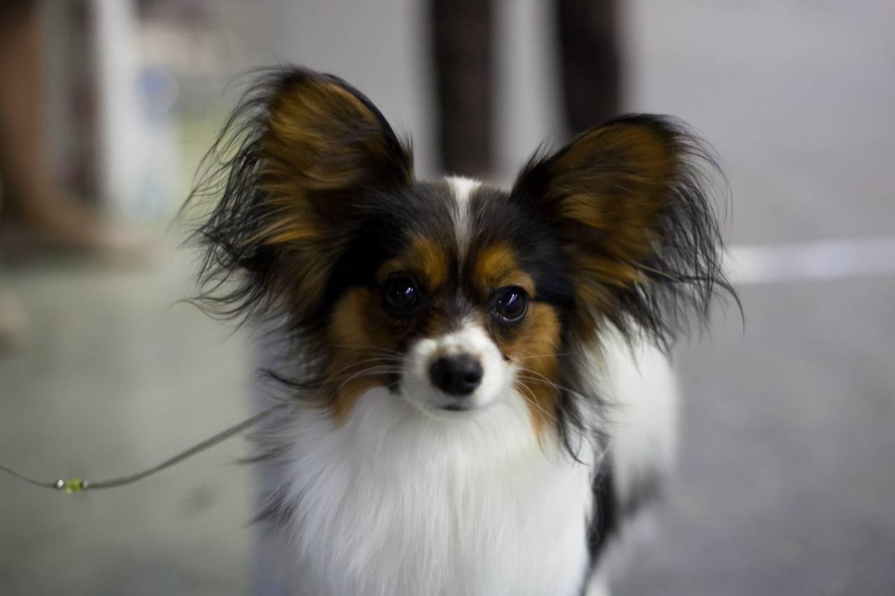 Собака папильон: история породы и содержание, стандарт внешности и характер, отзывы