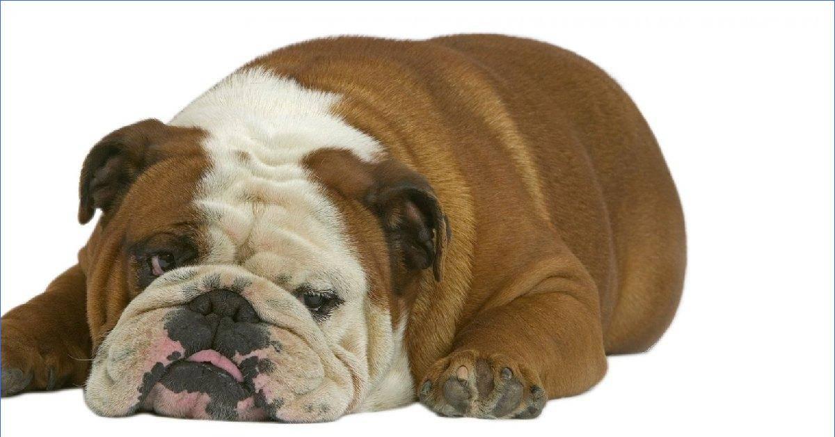 Топ-10 самых долгоживущих и здоровых пород собак