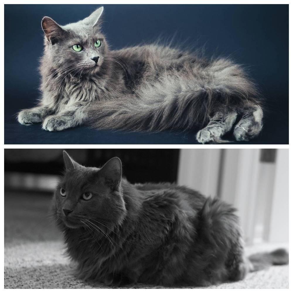 Нибелунг порода кошек, описание, темперамент, правила ухода