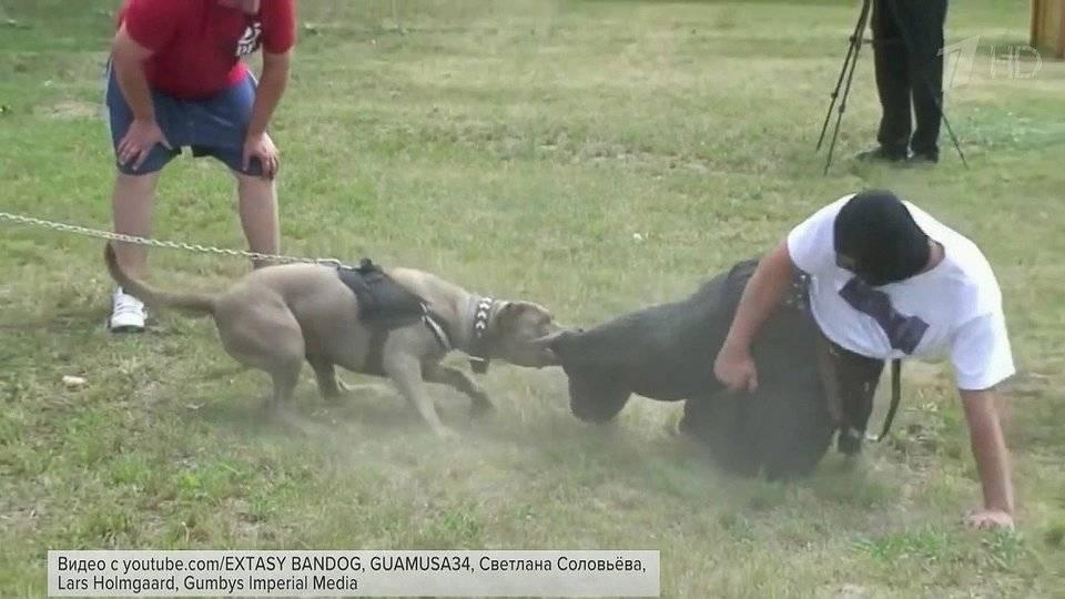 Какие на самом деле собаки запрещены в россии: где запрещен питбуль