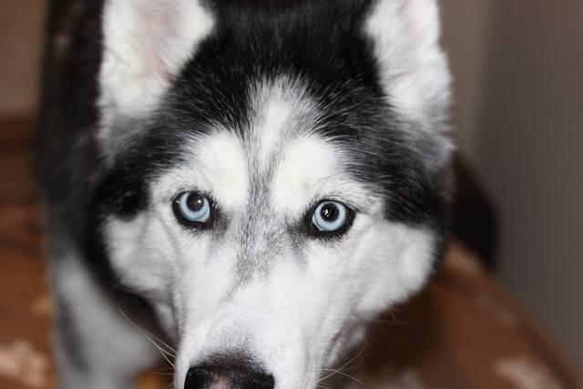 Хаски с разными глазами – норма или дефект?