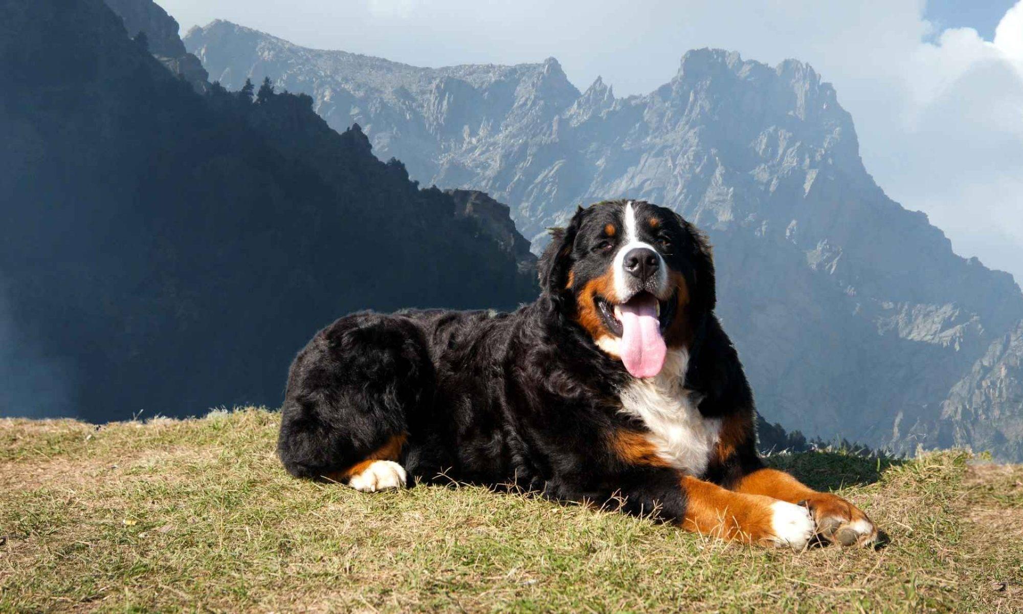 Большой швейцарский зенненхунд: описание породы