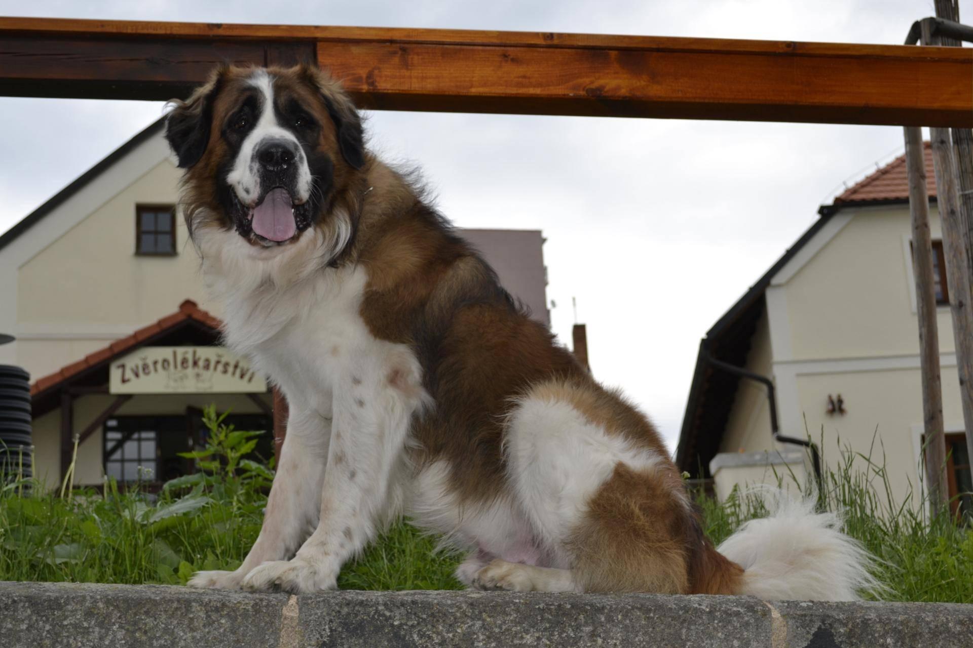 Сторожевые собаки – породы, выведенные для охраны территории или жилья