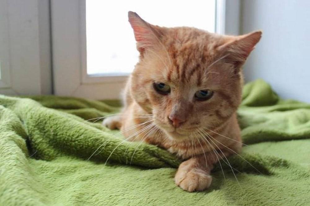 Иммунодефицит у кошек (fiv) — смертельно опасная инфекция