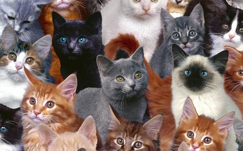 Породы черных кошек: что скрывается под мистическим окрасом?